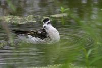 アカエリヒレアシシギ - 新 鳥さんと遊ぼう