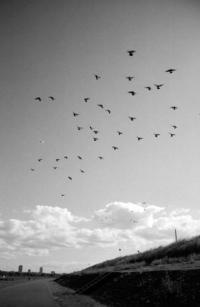 舞う鳩 - のっとこ