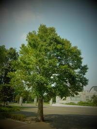 大樹を押したらビクともしない。 - 植村写真スタヂオblog