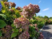 アジサイの花摘み - 函館市住宅都市施設公社 スタッフブログ