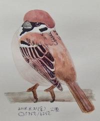 #スズメ 『雀』 Passer montanus   #ネイチャー・ジャーナル - スケッチ感察ノート (Nature journal)