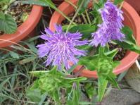 暑い日が続いています。4年目結果良好。紫の花。 - 沖縄山城紅茶 茶摘み日記