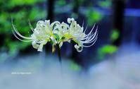 白い彼岸花 - 花々の記憶  happy momo