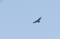 皇鈴山の戦歴を主張したクマタカ - 野鳥公園