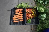 自然栽培涼しくなりました色々な収穫 - 自然栽培 釧路日記