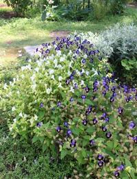 気持ちイイ日はバラの薬剤散布 - ペコリの庭 *