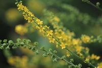 薬用植物園で黄色い花とホシアザミなど。満月も - 子猫の迷い道Ⅱ