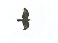 秋の鷹の渡り - ひとり野鳥の会