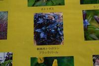 観賞用トウガラシブラックパール - *百花繚乱*