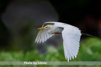 オレンジ色 - 野鳥 飛翔フォト