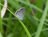 長崎シルビアシジミ - 蝶と自然の物語