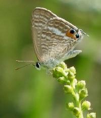 #チョウ 『裏波小灰蝶』 Lampides boeticus - 自然感察 *nature feeling*