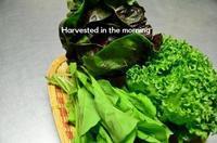 朝採り野菜 - ハーブガーデン便り