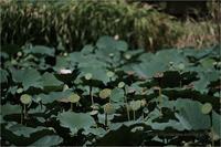 蓮池の秋 - りゅう太のあしあと