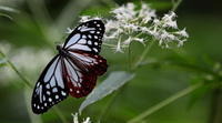 中秋 - 紀州里山の蝶たち