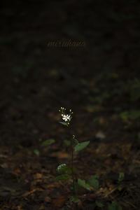 小さな花シリーズ。 - MIRU'S PHOTO