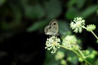晴れ・17℃の朝・・・ウドの花と蝶朽木小川・気象台より - 朽木小川・気象台より、高島市・針畑・くつきの季節便りを!