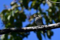 エゾビタキコサメビタキオオルリ幼鳥 - 新 鳥さんと遊ぼう