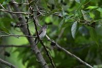 コサメビタキと虫と植物&動物 - 鳥と共に日々是好日