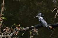 秋の猛暑日、ヤマセミさん - 鳥と共に日々是好日
