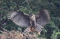 大きな獲物を - 『彩の国ピンボケ野鳥写真館』