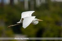 白型 - 野鳥 飛翔フォト