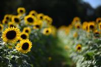 向日葵 2019 #1 / Sunflowers 2019 #1 - Seeking Light - 光を探して。。。