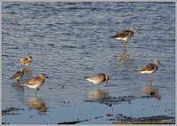 干潟に集まったシギ・チドリ - 野鳥の素顔 <野鳥と日々の出来事>
