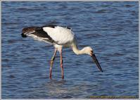 突然干潟に現れたコウノトリ未来(みき) - 野鳥の素顔 <野鳥と日々の出来事>