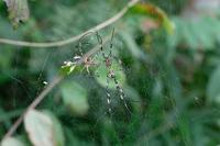 ■交接するジョロウグモ19.9.15 - 舞岡公園の自然2