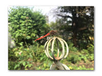 今はもう秋 - 雪割草 - Primula modesta -