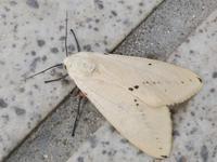 ヒトリガの一種 - 写ればおっけー。コンデジで虫写真