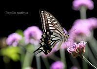 ナミアゲハ - 動物園の住人たち写真展(はなけもの写眞館)