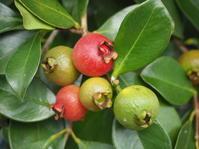 ストロベリーグァバの赤い実 - 神戸布引ハーブ園 ハーブガイド ハーブ花ごよみ