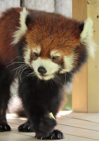 神戸市立王子動物園の旅行記を姉妹ブログ「レッサーパンダ紀行」にアップしました - (続)レッサーパンダ紀行