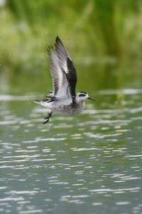 アカエリヒレアシシギ飛翔 - 新 鳥さんと遊ぼう