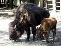 アメリカバイソンの親子 - 動物園放浪記