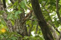 赤色型のツツドリ - 近隣の野鳥を探して2