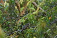 ツツドリ09月15日 - 旧サンヨン野鳥撮影放浪記