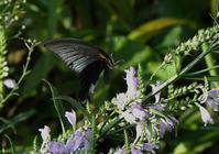 黒い蝶:ナガサキアゲハ - 赤いガーベラつれづれの記