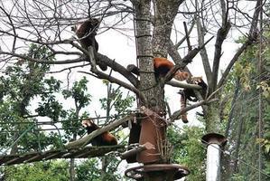 気まぐれ天気の旭山詣・その3 - レッサーパンダ☆もふてく放浪記