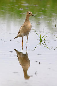 Buff-breasted Sandpiper - 季節の野鳥~Wildbirds archives