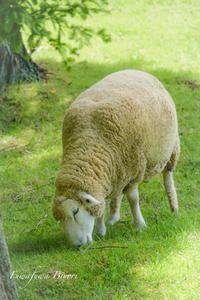 羊さん ** - ふわふわ日和