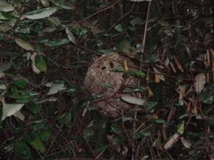 巣箱の近くに「コガタスズメバチの巣」ができていた。 - 鑑定士ハチの部屋