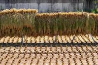 稲刈り - ホンテ島 日記