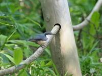 笹薮に降りたゴジュウカラ - コーヒー党の野鳥と自然パート3