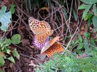オオウラギンスジヒョウモン - 秩父の蝶