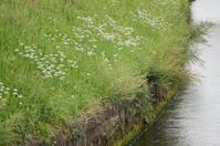 小さな川渕に・・・(ニラの花) - きょうから あしたへ その2
