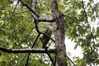 渡りの立ち寄りのツツドリ&ツルシギ - 私の鳥撮り散歩