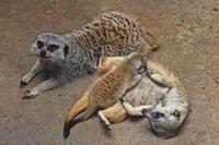 こんにちは!ミーアキャットの赤ちゃん!!(井の頭自然文化園) - 続々・動物園ありマス。